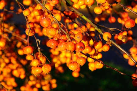 crab apple tree: Vibrant ripe crab apples on a tree during the Autumn, England, UK, Western Europe.