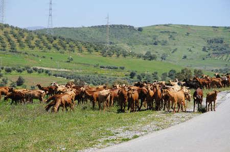 Goatherd, Near Alora, Malaga Province, Andalusia, Spain, Western Europe.