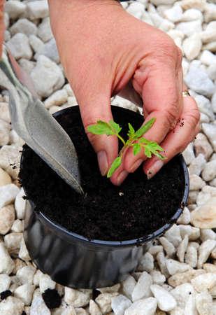 transplanting: Transplanting Ailsa Craig tomato seedling.