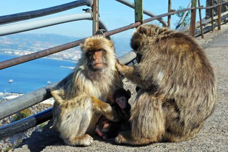 barbary ape: Two Barbary Apes holding their baby, Gibraltar, United Kingdom, Western Europe.