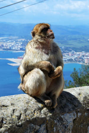 sylvanus: Barbary Ape Macaca Sylvanus sitting on a wall near the top of the rock with the Mediterranean Sea and Spanish coastline to the rear, Gibraltar, United Kingdom, Western Europe.