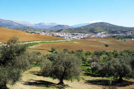 snow capped: Olive grove with a distant view of the town and snow capped mountains to rear, Rio Gordo, Costa del Sol, Malaga Province, Andalusia, Spain, Western Europe. Stock Photo