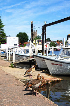 aegyptiaca: Four Egyptian Geese standing by boats alongside the River Thames, Henley-on-Thames, Oxfordshire, England, UK, Western Europe. Editorial