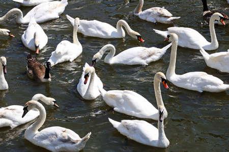 warwickshire: White swans the River Avon, Stratford-Upon-Avon, Warwickshire, England, UK, Western Europe. Stock Photo