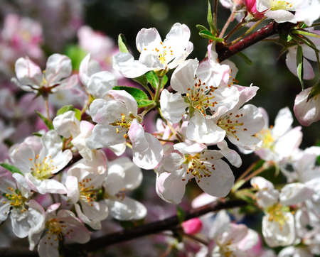 crab apple tree: Crab apple tree blossom in the Springtime, England, UK, Western Europe. Stock Photo