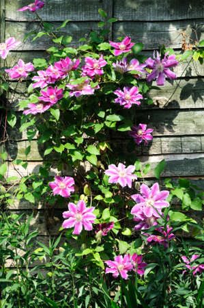 mauve: Striped mauve coloured Clematis in full flower, England, UK, Western Europe.