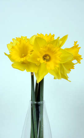 glass vase: Daffodils in full bloom in a glass vase against a plain background