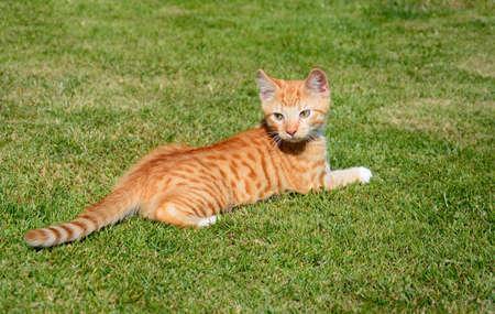 moggy: Twelve week old ginger kitten sitting in the garden, UK. Stock Photo