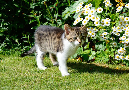 moggy: Nine week old grey tabby kitten standing in the garden, UK.