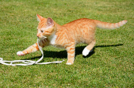moggy: Twelve week old ginger kitten playing with a string in the garden, UK.