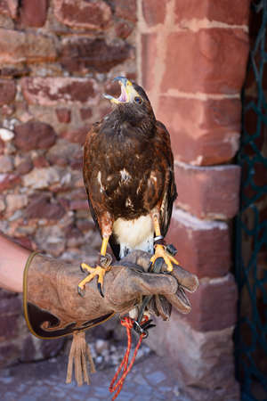 Harris Hawk standing on a handlers hand in the castle courtyard, Silves, Portugal, Europe.