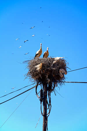 Adult storks n a large nest made of twigs and branches on a telegraph pole against a blue sky, Algarve, Portugal, Europe. Banco de Imagens