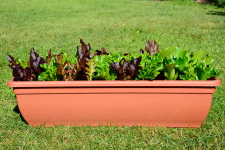 Young lettuce leaves growing in a rectangular pot on the lawn. Stock Photo