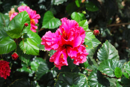 Pink hibiscus (rose of China) plant in full bloom, Costa del Sol, Andalusia, Spain, Europe. Stock Photo