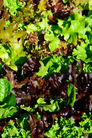 Young lettuce leaves food background. Stock Photo