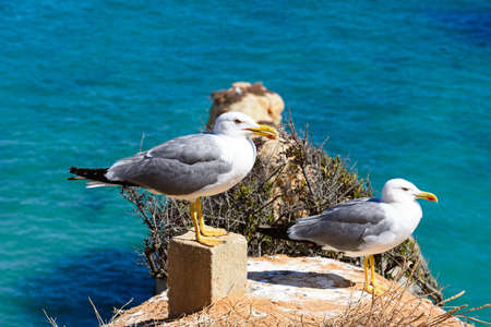 Two seagulls on the cliffs with the ocean to the rear, Praia da Rocha, Portimao, Algarve, Portugal, Europe. 写真素材
