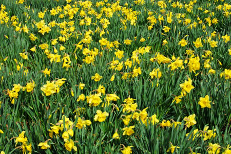 Field of yellow daffodils in full bloom, England, UK.