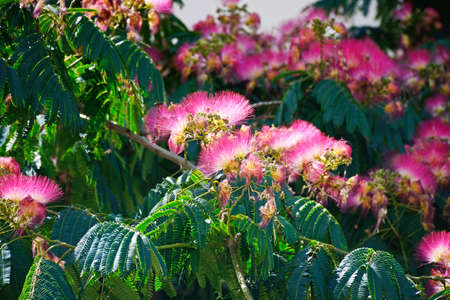 Pretty pink and white flowering silk tree (Albizia Julibrissin), Ayamonte, Huelva Province, Andalucia, Spain, Europe.