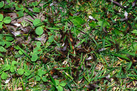 Flying ants swarming in the grass, England, UK, Western Europe.