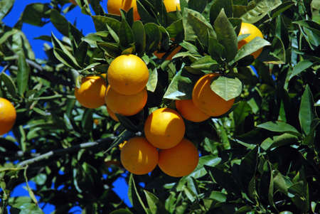 Ripe Seville oranges on a tree, Riviera del Sol, Costa del Sol, Malaga Province, Andalucia, Spain, Europe
