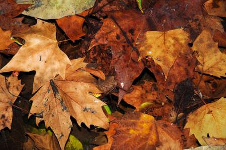 Autumn leaves floating on a pond, Malaga, Costa del Sol, Malaga Province, Andalucia, Spain, Europe Stock Photo