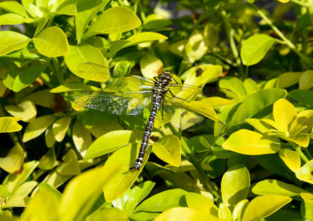 Large Dragonfly resting on a yellow bush in a n English garden in summertime