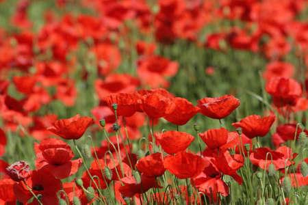 papaver: Red poppy (Papaver rhoeas) in meadow Stock Photo