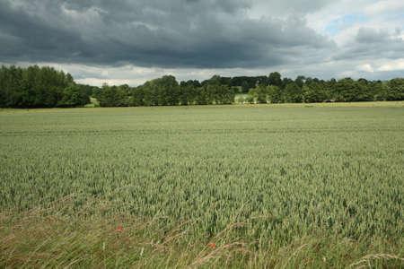 wheatfield: Wheatfield in Aisne, Picardy Region of France
