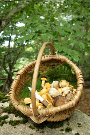 girolle: Basket of ceps porcini mushroom and golden chanterelle golden chanterelle
