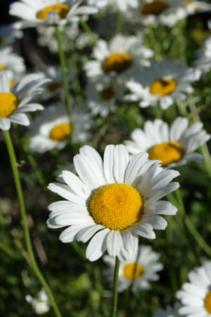 oxeye: oxeye daisy (Leucanthemum vulgare) Stock Photo