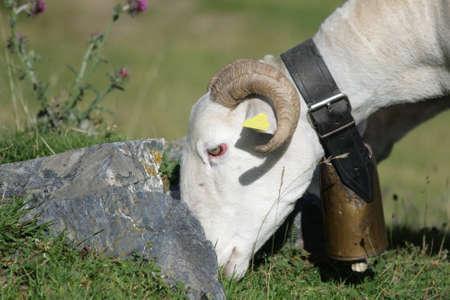 ruminant: Sheep grazing in Pyrenees Stock Photo