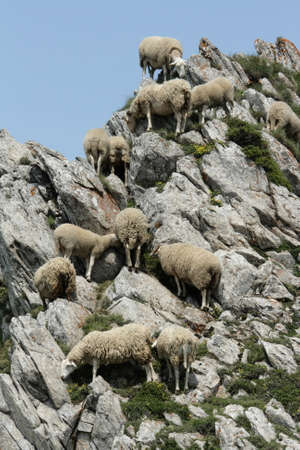pyrenees: flock of sheep in Pyrenees