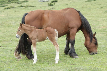 mare and foal: Mare and foal in Pyrenees
