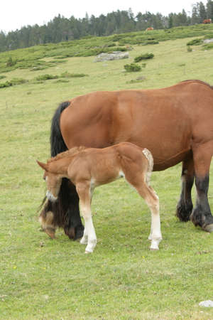 pyrenees: Mare and foal in Pyrenees