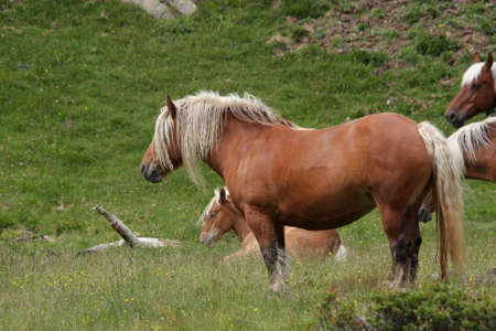 pyrenees: Comtois horse in Pyrenees