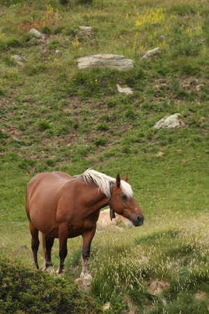 herbivorous animals: Comtois horse in Pyrenees