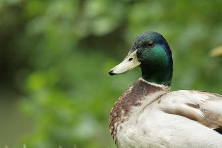 palmiped: male wild duck or mallard (Anas platyrhynchos)