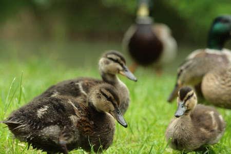 palmiped: wild duckling or mallard (Anas platyrhynchos)