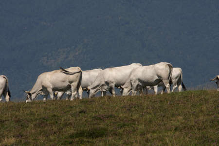 herd: herd of cows in Pyrenees