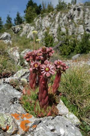angiosperms: Mountain houseleeks Sempervivum montanum Stock Photo
