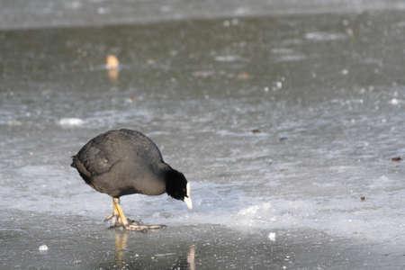 Eurasian coot (Fulica atra) on ice
