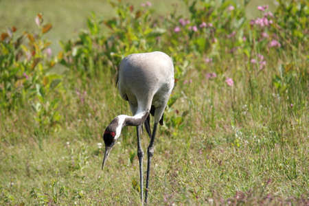 palmiped: common crane (Grus grus)