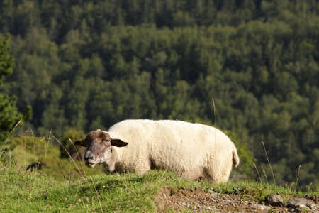 Sheep in Pyrenees
