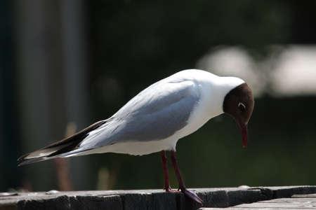 ridibundus: black-headed gull (Chroicocephalus ridibundus) Stock Photo