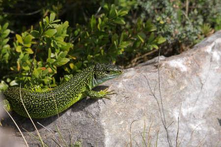 European green lizard (Lacerta viridis) Stock Photo