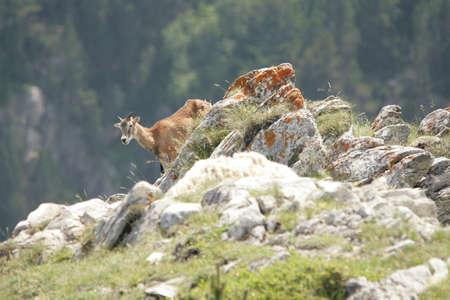 mouflon: mouflon (Ovis orientalis) Stock Photo