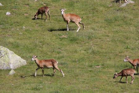 mouflon: Group of mouflon (Ovis orientalis)
