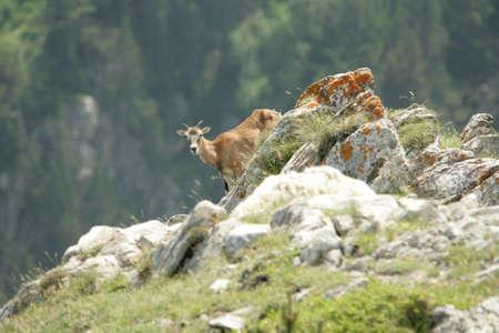 Mouflon (Ovis orientalis) in Pyrenees