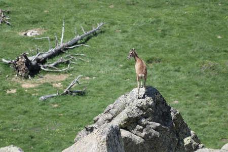mouflon: Mouflon (Ovis orientalis) in Pyrenees