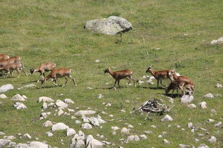 mouflon: Hedr of mouflon (Ovis orientalis) in Pyrenees Stock Photo